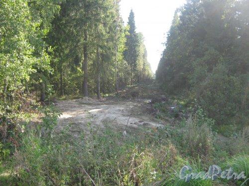 Лен. обл., Гатчинский р-н, пос. Сусанино. Просека в лесу. Фото 1 сентября 2013 г.