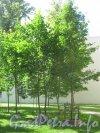 Сквер имени Андрея Петрова. Деревья, посаженные артистами и композиторами в сквере. Фото 7 июля 2012 г.