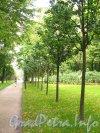 Михайловский сад. Восстановленная липовая аллея. Фото сентябрь 2012 г.