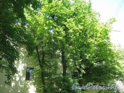 Сквер имени Андрея Петрова. Деревья на территории сквера у дома 32 по Каменноостровскому пр. Фото 7 июля 2012 г.
