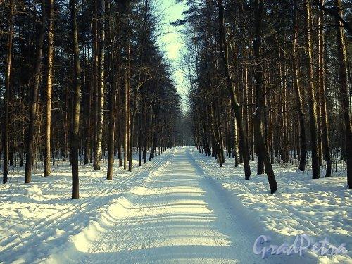 парк Сосновка. Перспектива одной из аллей. Фото февраль 2013 г.