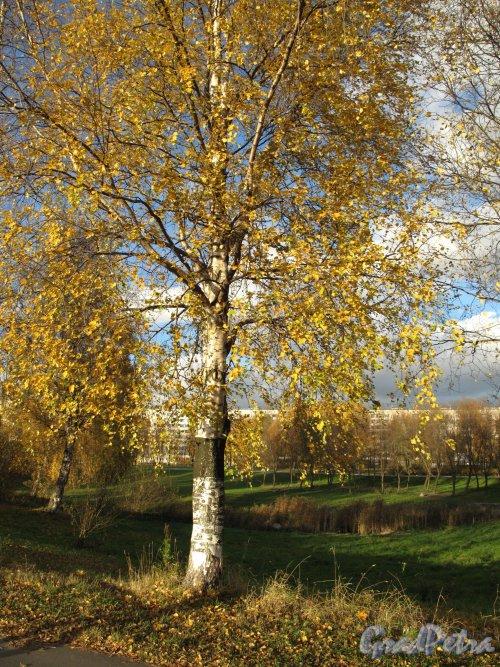 Муринский парк. Фрагмент парка с видом на пр. Луначарского. Фото октябрь 2013 г.