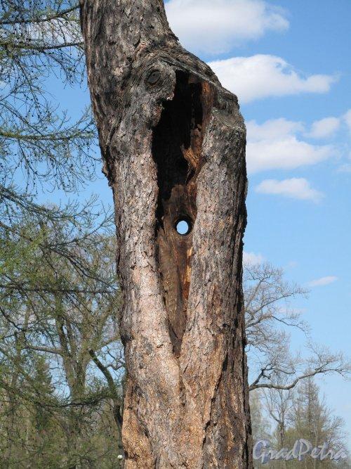 Александровский парк (г. Пушкин). Просто дерево. Фото май 2012 г.