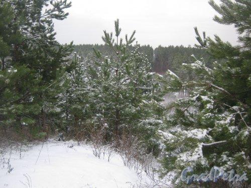 Лен. обл., Выборгский р-н, Приморское шоссе (недалеко от пос. Ермилово). Вид на лесную просеку в сторону Финского залива. Фото 7 декабря 2013 г.